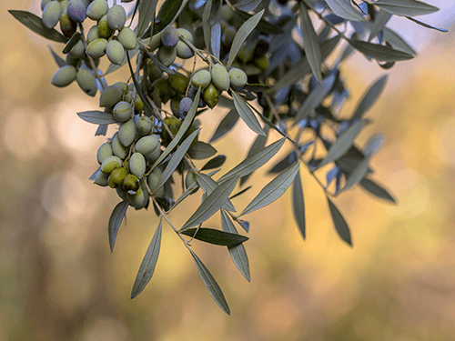 Organic olives - perfect for 8 Pack C60 Organic Olive Oil