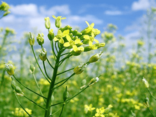 Camelina flowers in the field - perfect for 8 Pack C60 Organic Camelina Oil