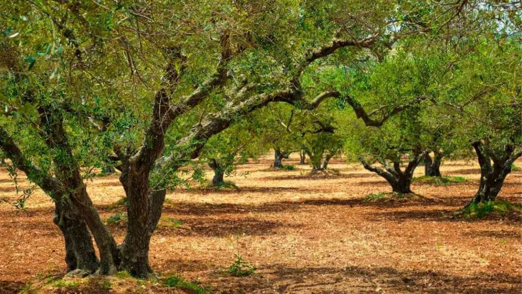 VITA60 huile d'olive C60 provient d'huile d'olive biol de Crète