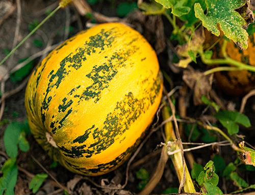 Calabaza en un campo - lista para paquete de 4 C60 en aceite de semilla de calabaza