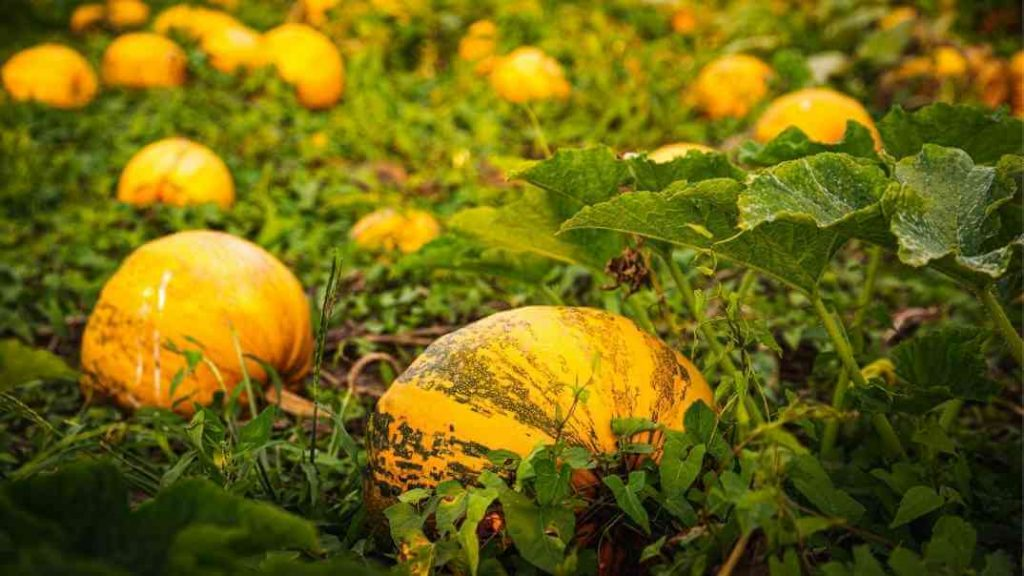 A field of organic pumpkins for pumpkin seed oil