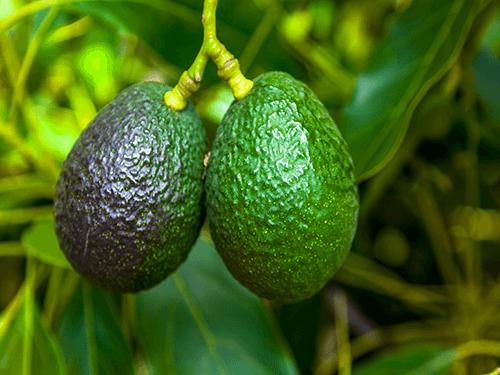 Reife Avocados - perfekt für 8er Pack C60 Avocadoöl